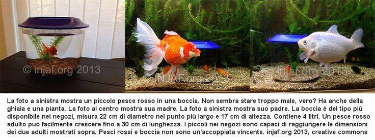 Quali dimensioni per un acquario per i pesci rossi?