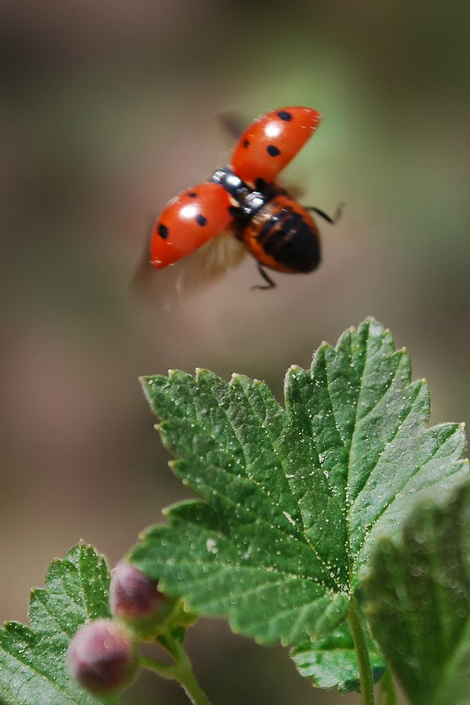 Ladybug in flight!