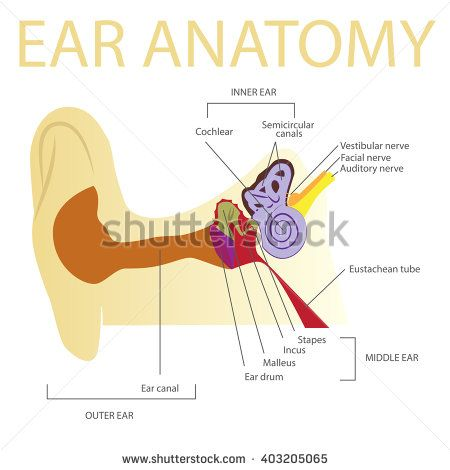human ear anatomy vector illustration - stock vector