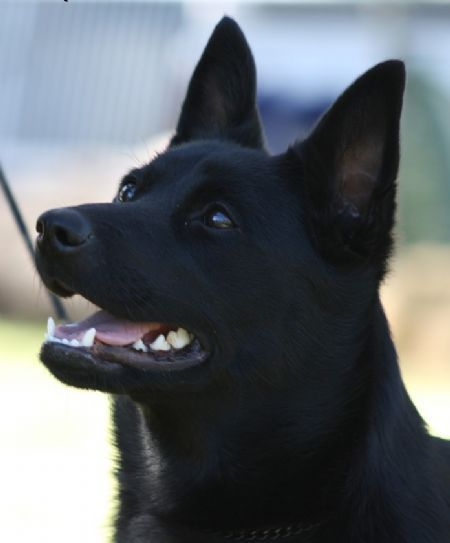In Australia, there are two separate registries for Kelpies. The working Kelpie and the Show Kelpie. Show Kelpies are restricted to solid colours (black, chocolate, red, smoky blue, fawn, black and tan, red and tan) in a short double coat with pricked ears. Show Kelpies are generally heavier and shorter than working Kelpies.Australian Kelpie