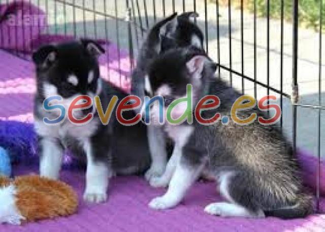 Regalo Husky Siberiano Para Adopcion En Huelva Anuncios Mayo Clasf Animales Regalo Perro Perros Venta De Perros