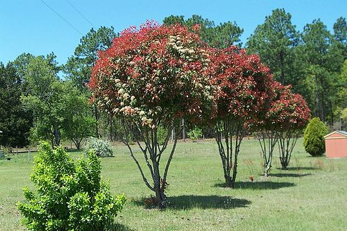Red Tip Photinia, shaped into trees. This is how we are going to do the ones in our backyard.