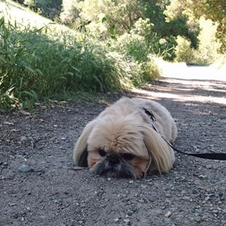 Just like you, he hates exercising. | Daily Dougie Just Might Be The Cutest Dog On Instagram