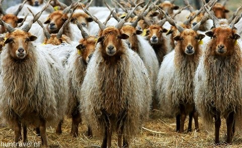 Racka, Hungarian breed sheep in Hortobágy National Park. Easy to recognize by its twisted horns. #Hungary #animal