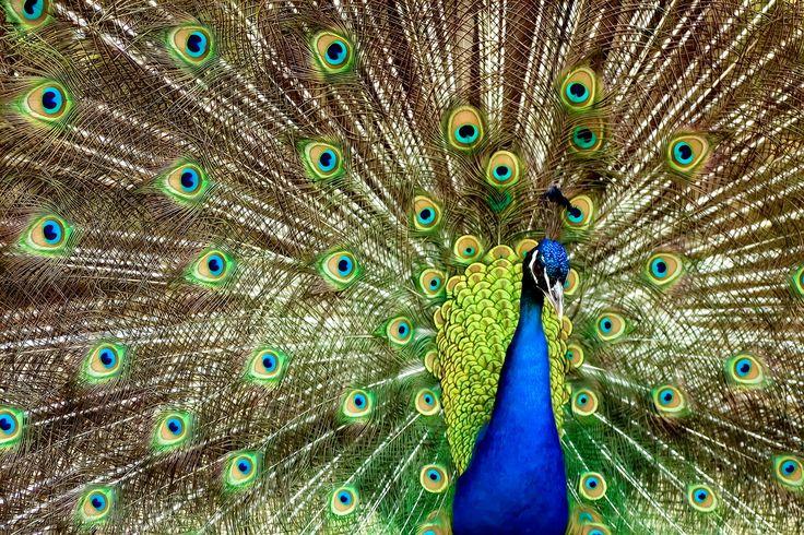 Pfau - peacock  .  Animal Photography Artwork