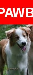 Please spread the word! Chase was last seen in Newport News, VA 23603.  Description: (white/red) medium size male Australian Shepherd   **(Picture is not Chase but looks very similar)  Nearest Address: Fort Eustis Boulevard, Newport News, VA, United States