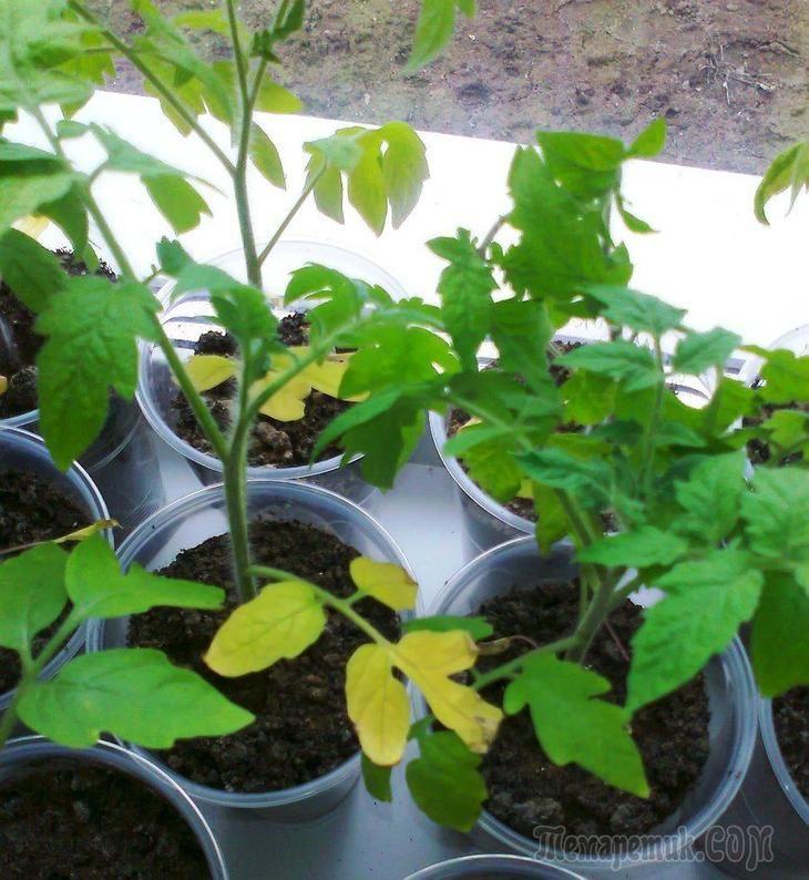 Желтеют листья у рассады помидор по нескольким основным причинам: нехватка элементов питания, проблемы с корнями (например, слишком маленькая емкость), нехватка света и проблемы с поливом.Но как опре...