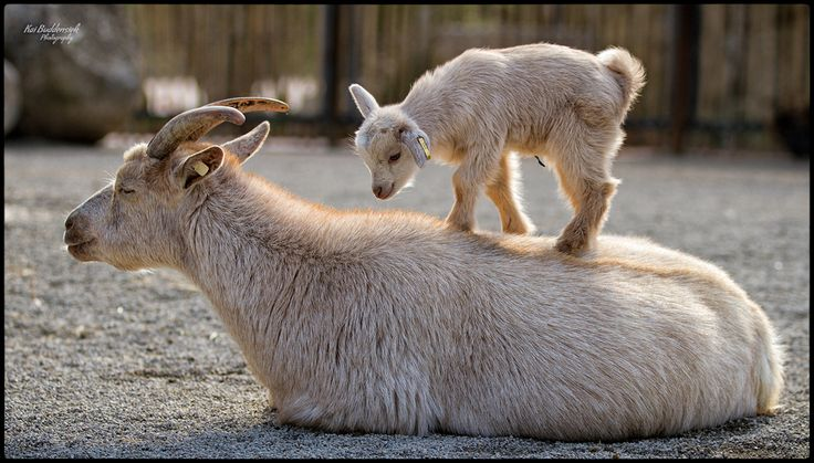 I used to play like this with my grandfathers little goat when i was young :)