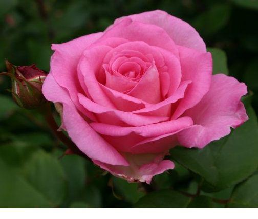 5 FavoritesL A rose for all regions, northeast us