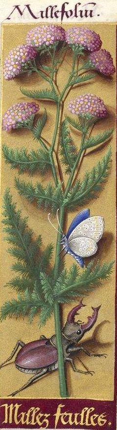 Millez feulles - Millefolium (Achillea Millefolium L. = achillée millefeuille) -- Grandes Heures d'Anne de Bretagne, BNF, Ms Latin 9474, 1503-1508, f°147r