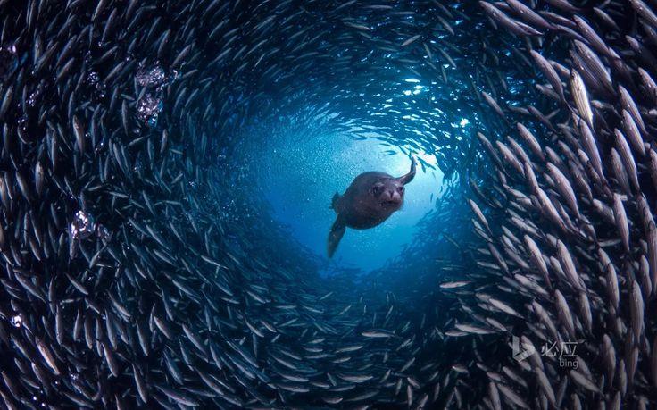 照片:#每日bing   厄瓜多尔,加拉帕戈群岛,海狮游过鱼群