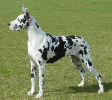 For years, when I was a kid, I had an imaginary dog, and it was always a Harlequin Great Dane. <3    Hunter Green Great Danes