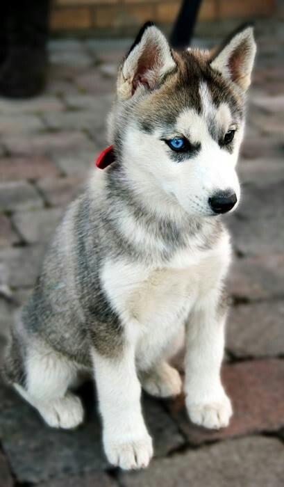 Siberian Husky - want!! Too cute.