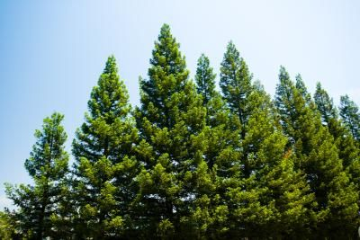 As a pine tree matures, its lower branches often become heavy and droop to the ground or turn yellow and die because of insufficient sunlight due to shading from higher branches. These conditions ...