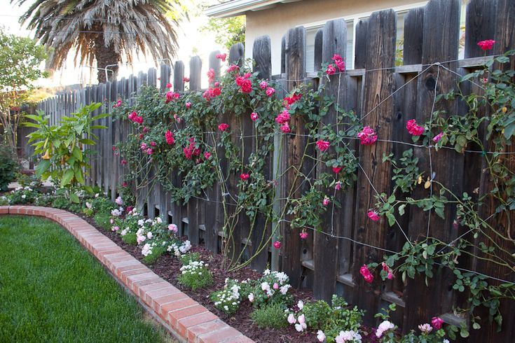 Climbing Rose Against Fence For Privacy Using