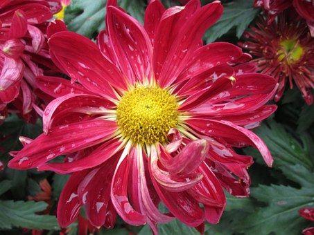Chrysanthemum, Plant, Park, Red