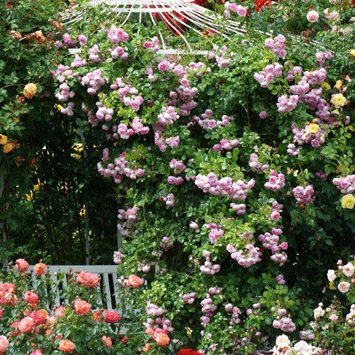 Les 38 meilleures images propos de id es plantations sur for Plantes jardin anglais