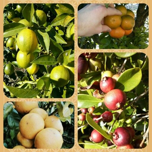Good bye feijoas and Welcome autumn fruits! Below is a photo of some laden fruit trees on our farm. But first.. How sweet is nature?  Did you know both olives and lemons ripen at the same time of the year? A match made in heaven, I think. The perfect combo to make Drizzle's incredible Lemon Infused Olive Oil :)  #citrus #lemonolivefusion #guavas #autumn #extravirginoliveoil