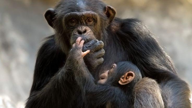 Chimpansen har et afvekslende fødevalg som på mange måder minder om menneskets. Det er vel ingen hemmelighed at chimpanserne spiser frugt, bl.a. bananer, men hvor mange ved at chimpanser faktisk også går på jagt efter frisk kød? Læs mere på www.regnskove.dk