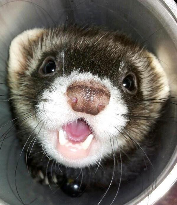 My Worst Nightmare And Biggest Fear Ferret A Phobia