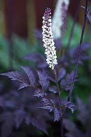 21 - Rödbladig silverax, vit. Actaea simplex 'Brunette'