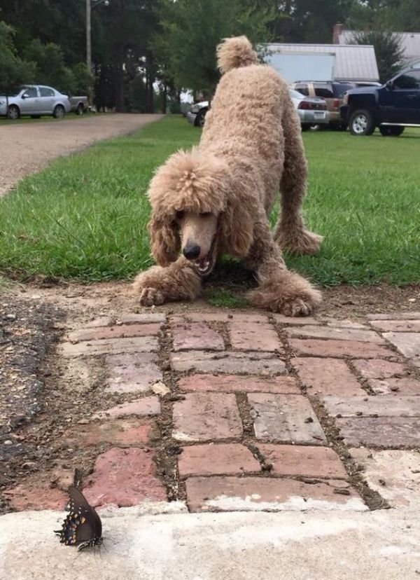 10 Interesting Facts And Information About Poodle Dog Breeds