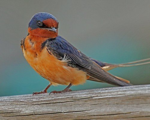 """Barn Swallow Photograph - Fine Art Animal Photography - """"Barn Swallow"""" Bird Photography. The Barn Swallow has been said to symbolize the coming of spring and thus love. Shakespeare said """"True hope is swift, and flies with swallow's wings ..."""". This colorful print would be perfect for any room in your house including a baby's nursery or a child's bedroom. ••• TO ORDER: Select your size from drop-down menu on right. ••• All photographs are printed by our lab on professional grade, archival..."""