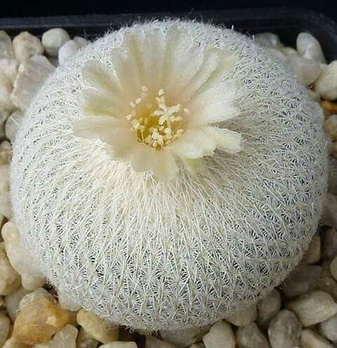 Cactus de ensueño