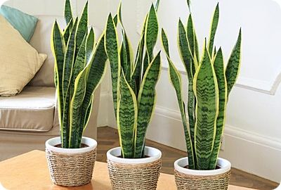 Use a snake plant as a natural air purifier - buy some for bedroom