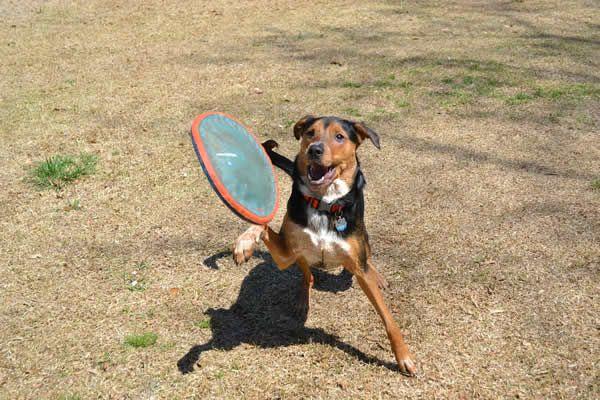 Hundefrisbee Hundesport Discdog  Infos zur Sportart und den Regeln