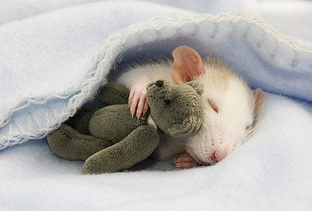 Not only is there a rat in a blanket...  But it's cuddling a stuffed animal?!! Lmao wow.