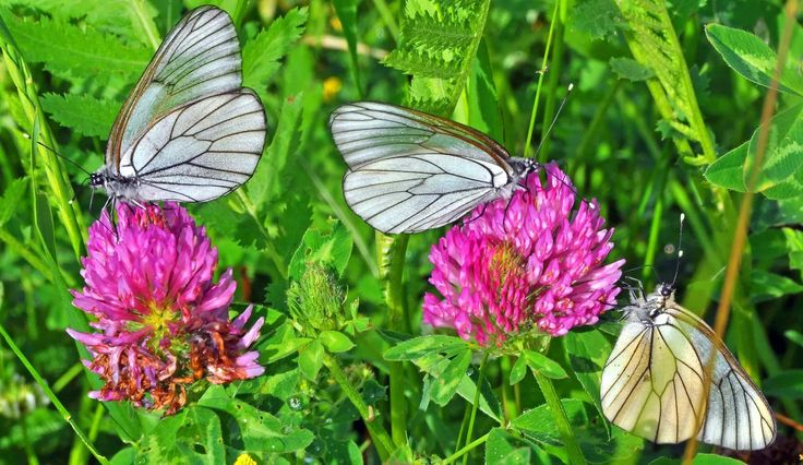 Фото: Butterflies on clover flowers #macro #butterfly #insects #nature Full size…