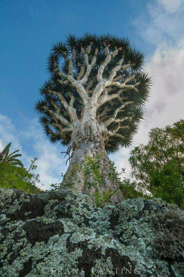 Dragontree in Canary Islands