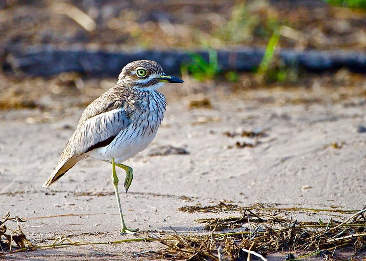 Water Thick-knee....to survive is a balancing act - Water this-knee in Chobe