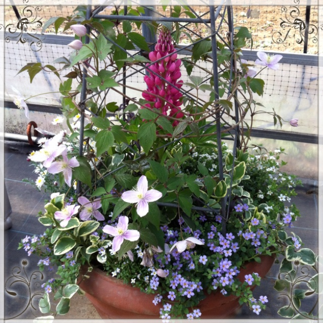 This container has enclosed the russel lupines with clematis monotana.
