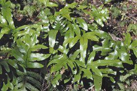 Microsorum pustulatum subsp. pustulatum