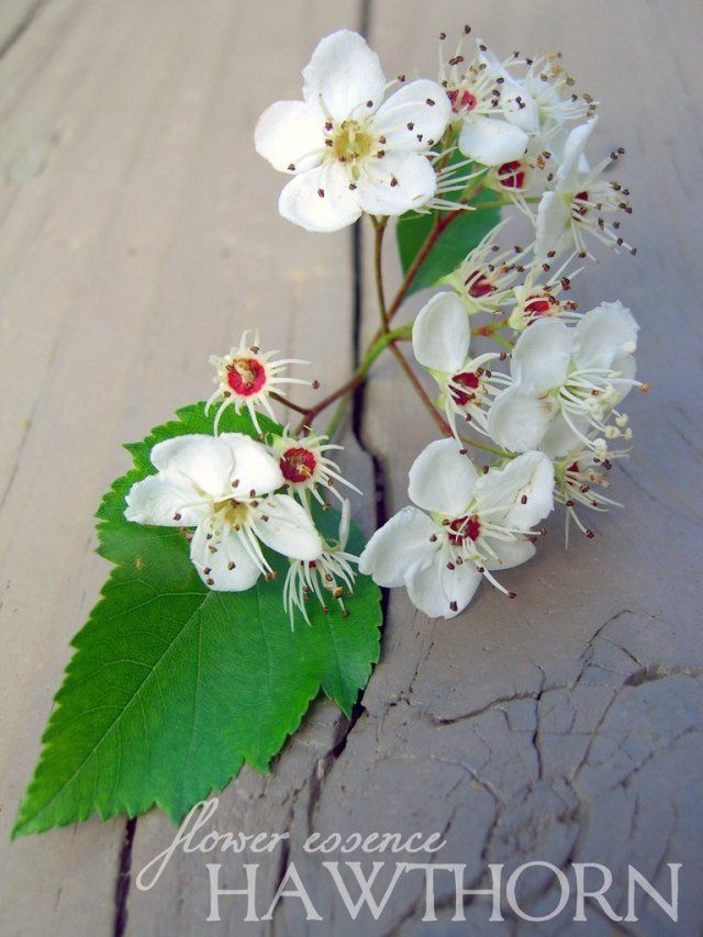 Hawthorn One Willow Apothecaries Birth Month Flowers Flower Essences Hawthorn