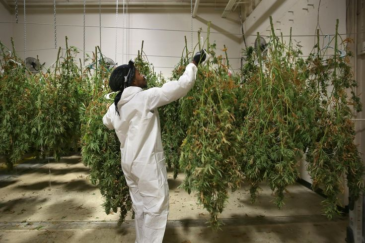 In a dark room, Jahful Price slowly worked a row of pungent plants guided by his headlamp.                   He wore a white biohazard suit, methodically picking up cannabis plants by their stems and hanging them upside down on a rack with plastic clothes hangers.                  Price, a 31-year-old Oakland resident who is black, is getting hands-on experience in cannabis cultivating that he hopes will help him run his own business one day.                  Since July, he's had a paid…