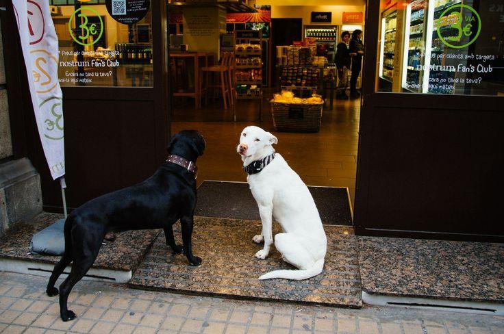 Собаки. Полноправные члены барселонского общества. Они, конечно же, хозяйские и с чипами. Если я иду по улице, то обязательно вижу  в радиусе обзора собаку, гордо вышагивающую со своим хозяином. А то и несколько. Большие, маленькие, на поводках и на руках, в корзинках велосипедов и на передних сиденьях.   Dogs seem to be the members of Barcelona society. I always see a dog or two when I walk along the street. They proudly walk by their masters. Big and small, with and without leashes…