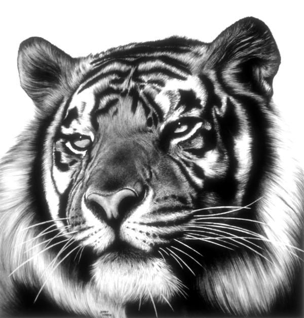 Tiger Face - Pencil Drawings by Jerry Winick