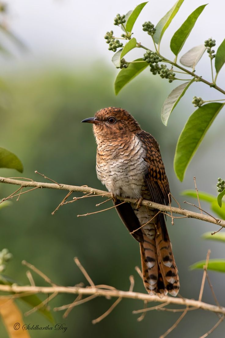 images about birds of the tropics i a plaintive cuckoo cac tis merulinus female