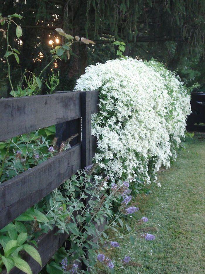 la fleur hiver Clématite d'Armand ou Clematis Armandii peut couvrir des cabanes comme plante grimpante