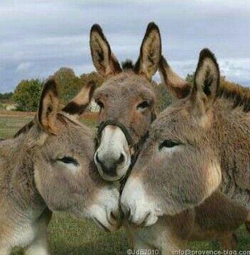 donkey musketeers