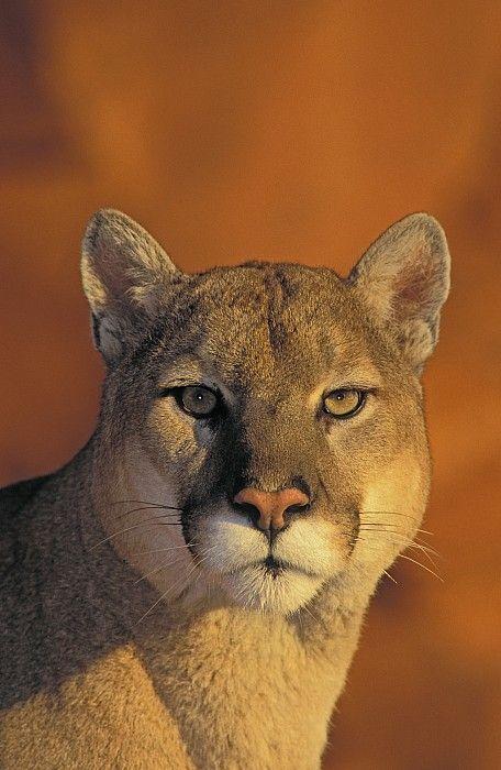 Mountain cougar. How stunning. Beautiful