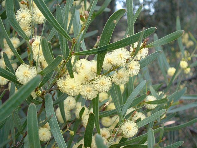 44 best tasmanian native flora images on pinterest