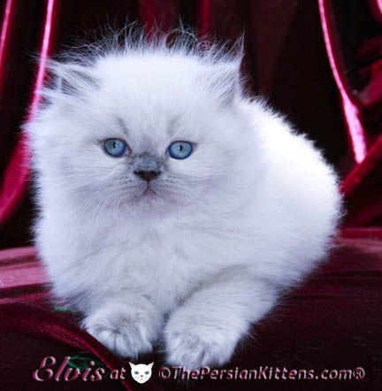 Persian cat small apartment