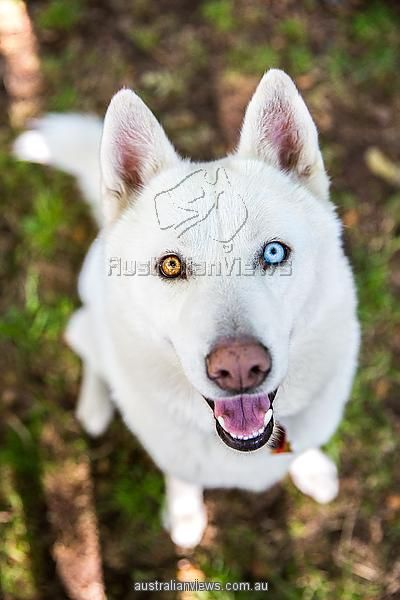 White Siberian Husky dog with different color eyes