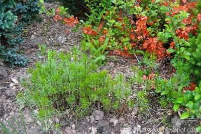 Ogrodnictwo od A do Z : Nachyłek okółkowy -  Coreopsis verticillata