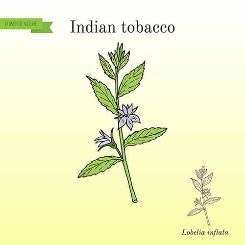 Lobelia: le proprietà curative, usi e controindicazioni della pianta cara ai nativi americani