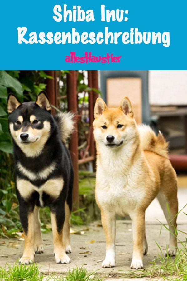 Shiba Inu Eine Japanische Hunderasse Hunde Rassen Hunde Shiba